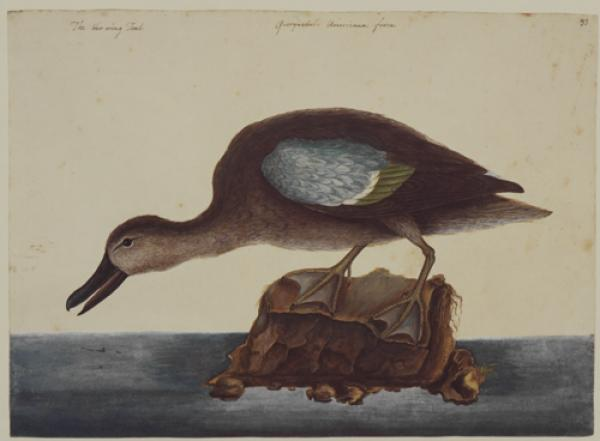 The Blue Wing Teal