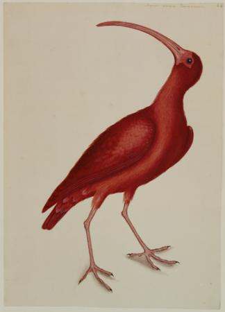 The Red Curlew