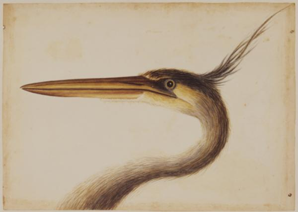 The Largest Crested Heron