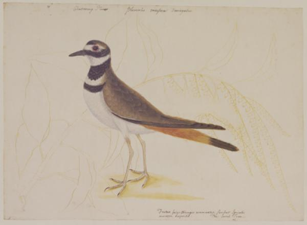 The Chattering Plover