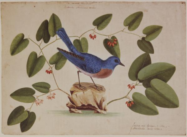 The Blue Bird and Smilax Spinosa