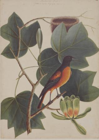 The Baltimore Bird and the Tulip Tree