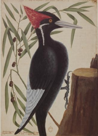 The Largest White Bill Woodpecker