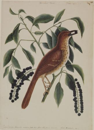 The Fox Coloured Thrush