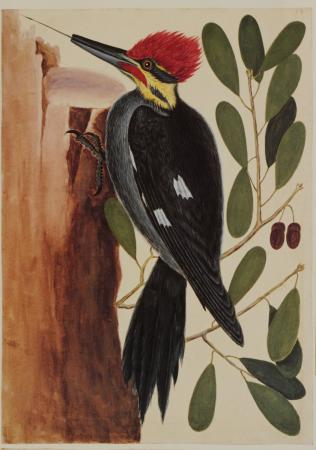 The Largest Red Crested Woodpecker