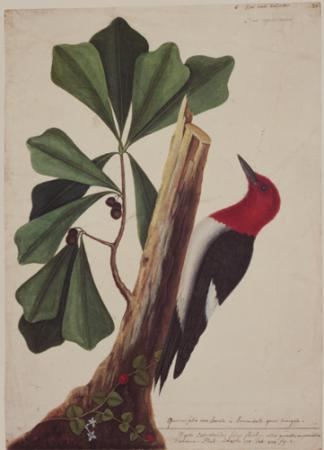 The Red Headed Woodpecker and the Water Oak-