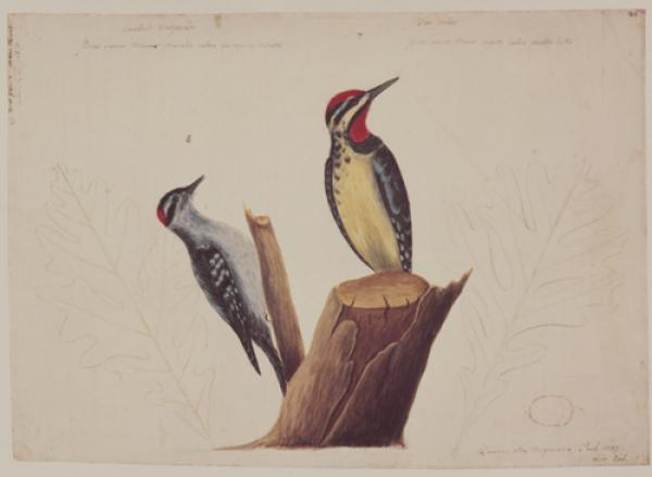 The Yellow Belly'd Woodpecker and the Smallest Spotted Woodpecker